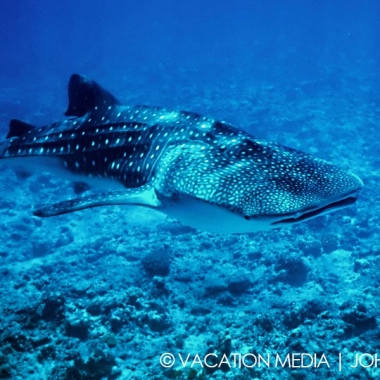 Isla Mujeres MX Whale Shark